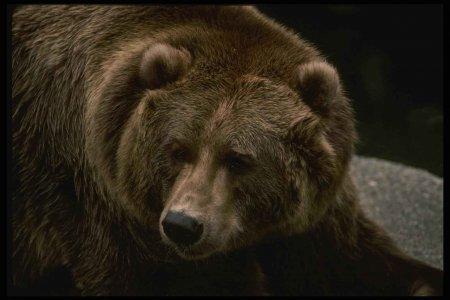 Самые интересные факты о медведях